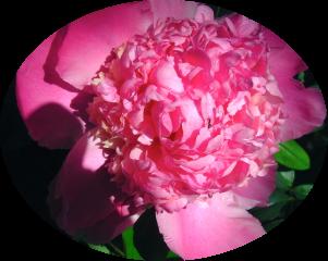 Blumen,Pfingstrose,BILD0190.JPG.png