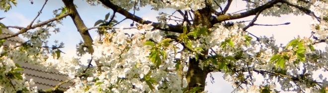 Kirschblüten.002
